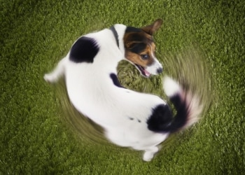 A Jack Russell Terrier dog spins in circles. Learn reasons dogs spin around.