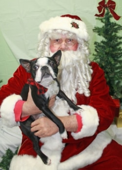 A Boston terrier poses with Santa at a Pets Best pet insurance event.