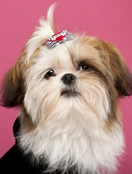 a shih tzu dog sits down with a clip in her hair.
