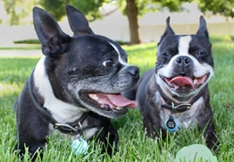Simon has the best pet insurance for Boston Terriers.