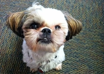 a shih tzu dog sits at the Pets Best Insurance offices.