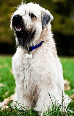 A Soft Coated Wheaten Terrier with pet insurance from Pets Best.