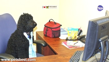 A labradoodle sits at a desk in the Pets Best Insurance office.