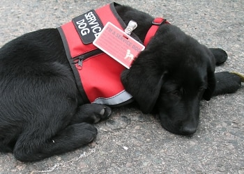 A black Labrador puppy working service dog.