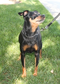 Tobey a black and tan min pin miniature pinscher dog stands outside the Pets Best Insurance offices.
