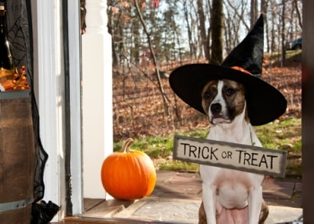 Halloween tips for dogs when getting trick or treaters at your door.