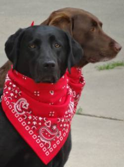 Two dogs, a chocolate lab and black lab in their red bandanas.