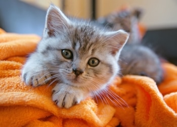 A kitten lays on a blanket kneading its paws.