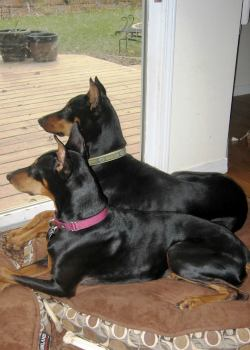 Two dobermans lay on their beds while looking out to the backyard.