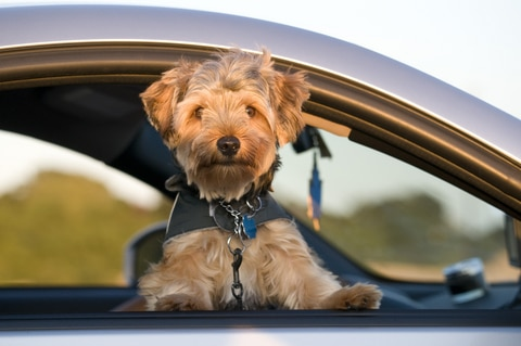 A puppy looks out the window of a car.