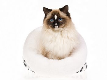 A cat with cat insurance sits in a plush bed.