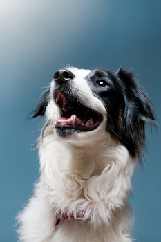 A healthy black and white dog looks upward.