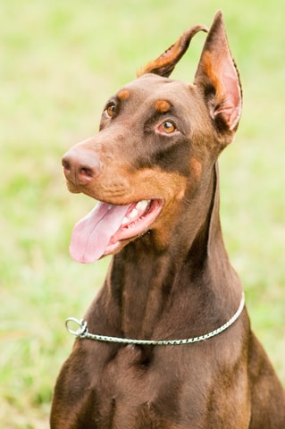 A Doberman Pinscher with dog insurance waits to play fetch.