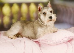 A fancy dog sits on a plush pink pillow.