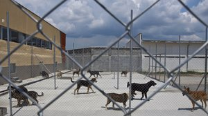 Numerous dogs are kept beind a fence at an animal shelter.