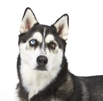 A Husky with dog insurance sits for the camera.