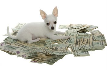 A white Chihuahua puppy sits in a pile of money.
