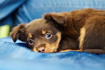A puppy waits to receive dog health care.