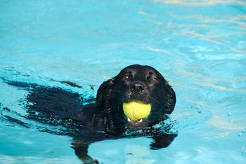 A black dog goes for a swim with a bright yellow tennis ball in its mouth.