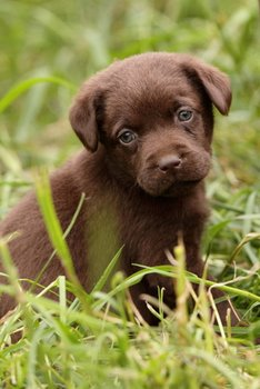 A small brown puppy sits in the grass.