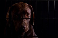 A Labrador puppy looks sad behind the bars of a cage.