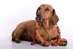 A weiner dog munches on link sausage.