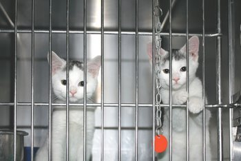 Two kittens wait to be adopted at a shelter.