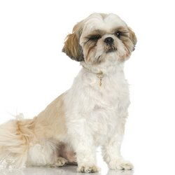 A white Shih Tzu waits for a command.