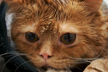 A wet cat dries off.