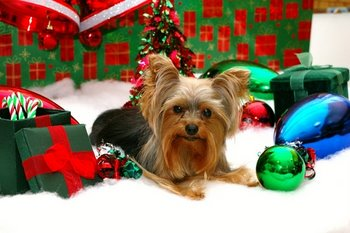 A Yorkie gets pet insurance for Christmas.