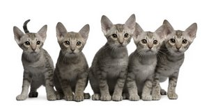 A group of Ocicats with cat insurance play with one another.