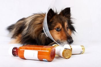 A sick dog is surrounded by pill bottles.