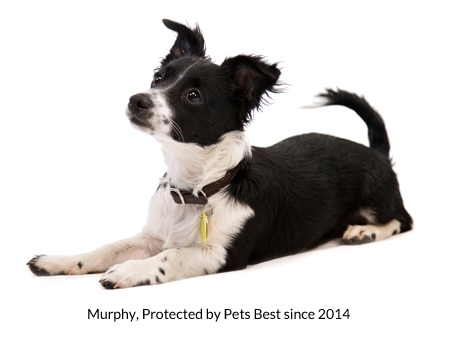 Murphy has been protected by Pets Best dog insurance since 2014