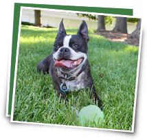 This Boston Terrier has pet insurance