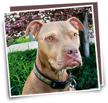 Pet insurance even covers Pit Bulls