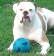 A white and brown bulldog sits with a blue ball