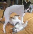 A black and white greyhound plays with a grey and white cat